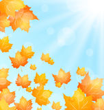 Autumn Background with Flying Maple Royalty Free Stock Photo