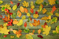 Multicolored foliage on an old wooden table. Bright colors of autumn. Autumn background. Foliage scattered on the table Stock Images