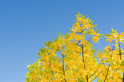 Autumn background with golden lush foliage Stock Images