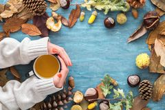 Autumn background with leaves, chestnuts, acorns, pine cone and woman hands in a sweater holding hot cup of tea. Top view, flat la Stock Photos