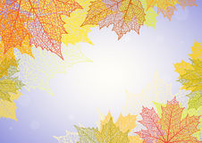 Autumn background and leaves of a maple. For design Stock Image
