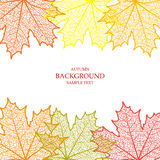 Autumn background and leaves of a maple. For design Royalty Free Stock Photography