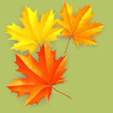 Autumn background and leaves of a maple. For design Stock Photography