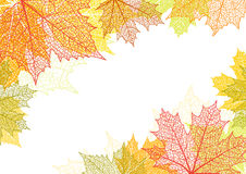 Autumn background and leaves of a maple. For design Stock Images