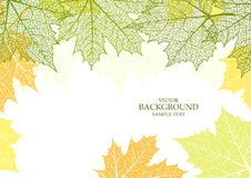 Autumn background and leaves of a maple. For design Royalty Free Stock Photo