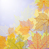 Autumn background and leaves of a maple. For design Stock Photos