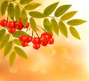 Autumn background with leaves and rowan. Stock Image