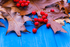 Autumn background leaves rowan fruit blue boards Royalty Free Stock Photography