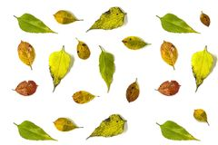 Autumn background made from the leaves of chokeberry and Jerusalem artichoke, on a white background. Flat la Stock Image
