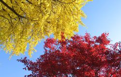 Autumn background with maple and gingo leaves. At Japan Stock Photo