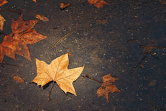 Autumn Background with Maple Leaf Stock Image