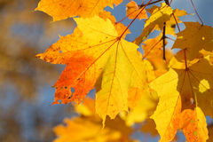 Autumn background. Autumn maple leaves on a blue background Stock Image