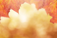 Autumn background with maple leaves Royalty Free Stock Photos