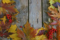 Autumn background, Maple leaves with chestnuts on a wooden table Stock Images