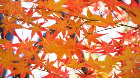 Autumn background with maple leaves. At japan Royalty Free Stock Photos