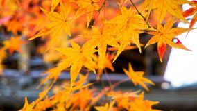 Autumn background with maple leaves. At japan Royalty Free Stock Image