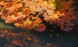 Autumn background with maple leaves. At Japan Stock Images