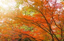 Autumn background with maple leaves. At Japan Stock Photos