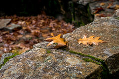 Autumn background with maple leaves. Autumn maple leaves on old stone with copy space Stock Photography