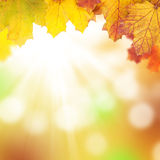 Autumn background with maple leaves Royalty Free Stock Photo