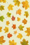 Autumn background. Autumn maple leaves on the white background. Autumn composition in vintage tones royalty free stock photo