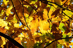 Autumn background of the oak leaves Stock Photos
