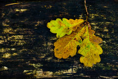 Autumn  background oak leaves Royalty Free Stock Images