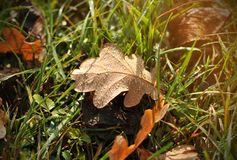 Autumn background of oak leaves and green grass covered with dew after nigh royalty free stock photos
