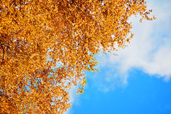 Autumn background - orange birch autumn leaves against blue sky. Autumn natural view with free space for text. Royalty Free Stock Images