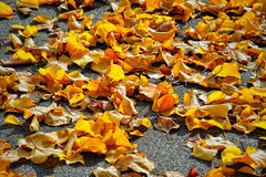 Autumn background with orange leaves in fall colors. Royalty Free Stock Photos