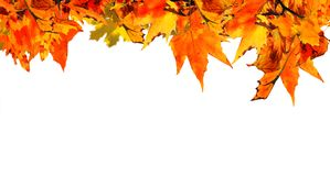 Autumn background with orange maple leaves royalty free stock image