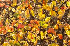Autumn background. Pattern of twigs and bright sunlit red and yellow and green leaves. Royalty Free Stock Photos