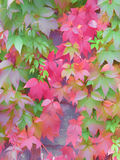 Autumn background plant abstraction. Vegetable Autumn background illustration with purple leaves of wild grapes royalty free stock photo