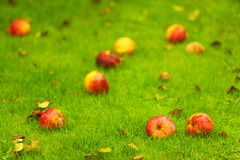 Autumn background, red apples on ground in garden Royalty Free Stock Image