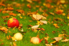 Autumn background, red apples on ground in garden Royalty Free Stock Photography