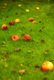 Autumn background, red apples on ground in garden Royalty Free Stock Photos