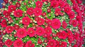 Autumn Background Red Chrysanthemums Stockfoto