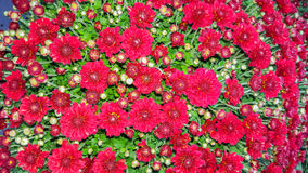 Autumn Background Red Chrysanthemums Stock Photo