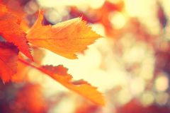 Autumn background. Red colorful foliage in fall.  stock photography