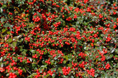 Autumn background with red gaultheria Royalty Free Stock Photography