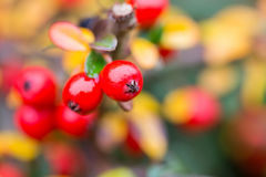 Autumn background with red gaultheria Royalty Free Stock Image