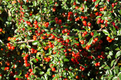 Autumn background with red gaultheria Stock Photos