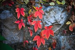 Autumn background red leaves on rock outdoor stock photography