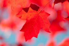 Red maple leaf with shallow focus. Autumn background - red maple leaf with shallow focus stock photography