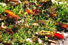 Autumn background. Red and yellow cherry-tree leaves on the grass close-up. Low point of shooting. Royalty Free Stock Photo