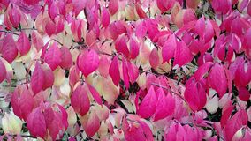 Red and Pale Yellow Autumn Foliage stock photo