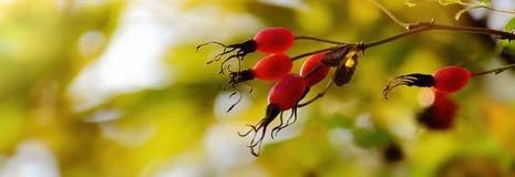 Autumn background. Rose hips on a dog rose. Stock Photo