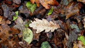 Autumn background or texture.Raindrops on fallen leaves in the r stock photography