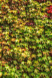 Autumn background wall of ivy leaves Stock Photo