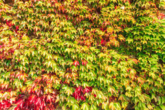 Autumn background wall of ivy leaves Royalty Free Stock Photography
